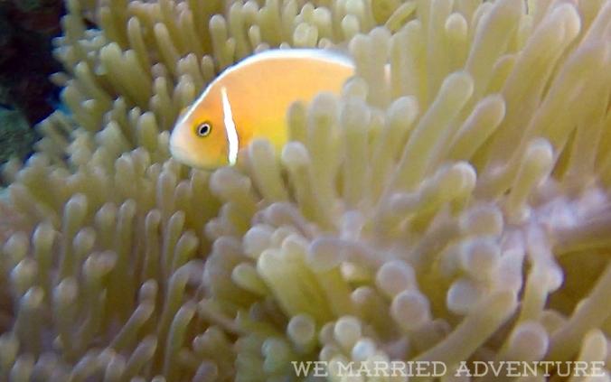 anemonefish03_wm