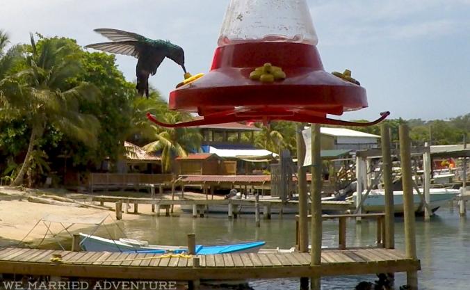 hummingbird01_wm